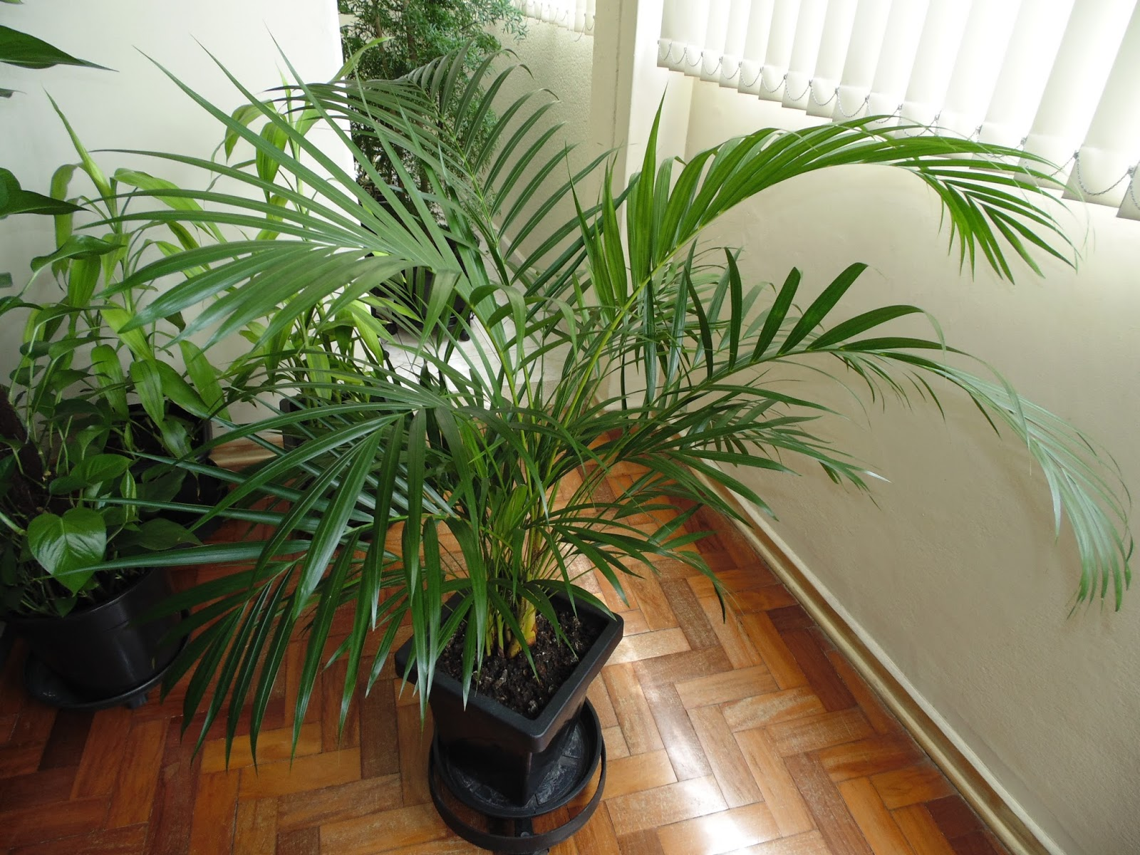 Plant Photos for Free: Dypsis Lutescens - A Small Palm Tree