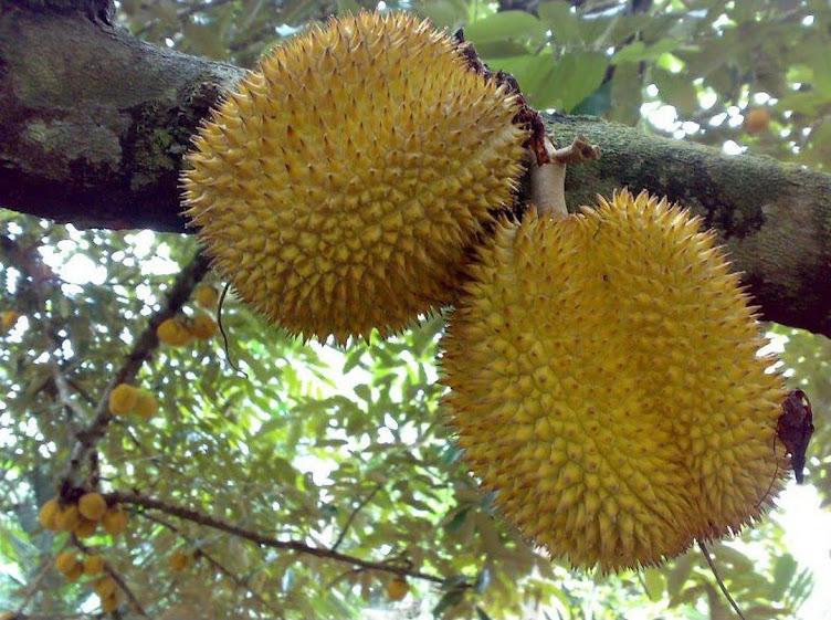 Bibit durian montong Mojokerto