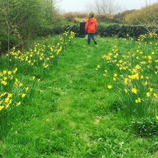 daffodils, penpol