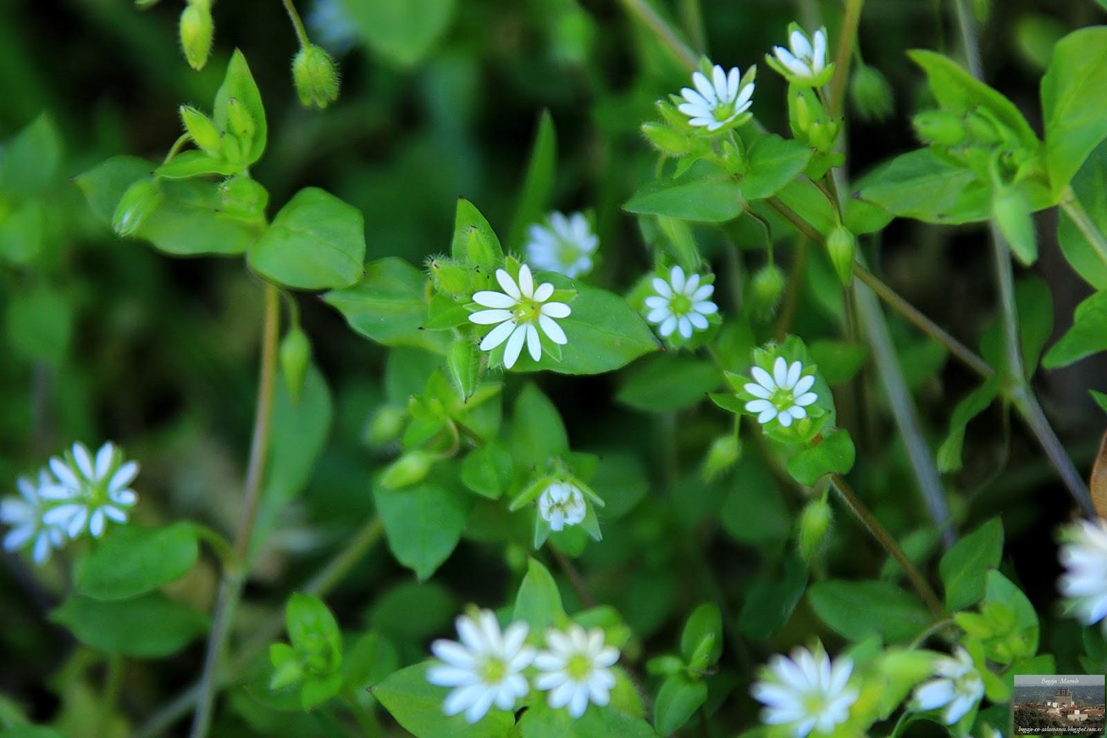 Bogajo Salamanca Pequenas Flores Silvestres De Primavera En Bogajo