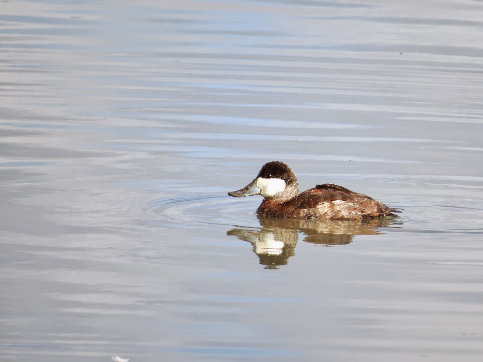 Ruddy duck in the Palo Alto Baylands