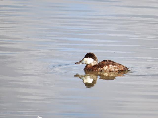 SF Bay Area Birding: Ruddy duck in the Palo Alto Baylands