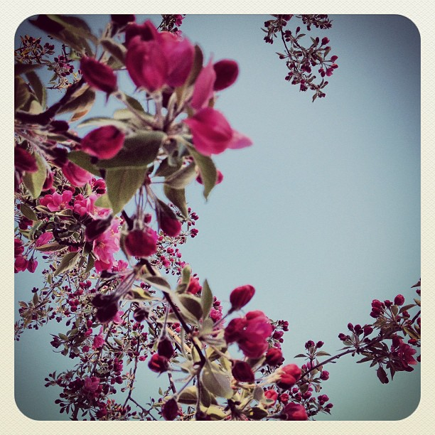 blooming cherry blossom tree, sky