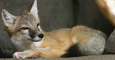 Rubah Swift (Swift Fox), Hewan Rubah, Spesies Hewan Rubah, Tentang Hewan Rubah, Memelihara Hewan Rubah,