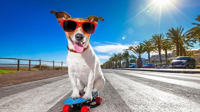cachorro de oculos escuro andando de skate
