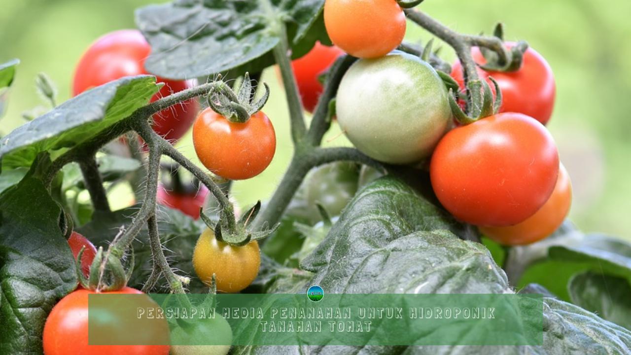 Persiapan Media Penanaman Untuk Hidroponik Tanaman Tomat