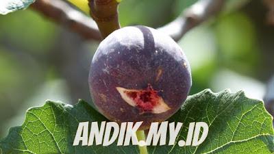 buah tin, buah ara
