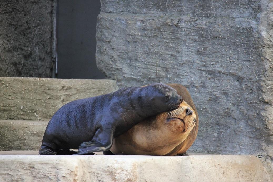 lachtaní mládě v zoologické zahradě Schönbrunn