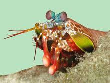 Captain America-Sparrowtail Mantis Shrimp