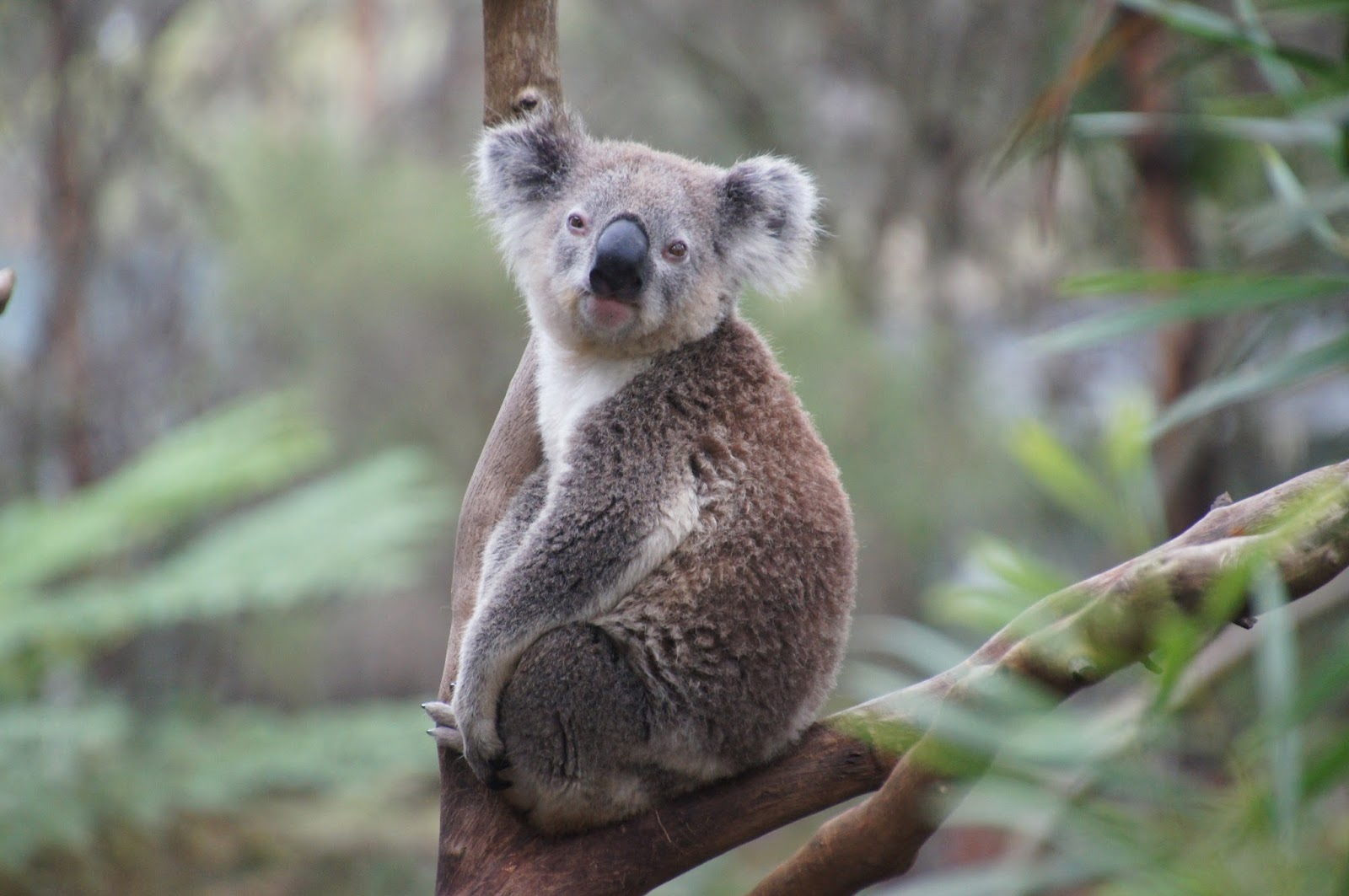 A koala sitting on a tree branch.