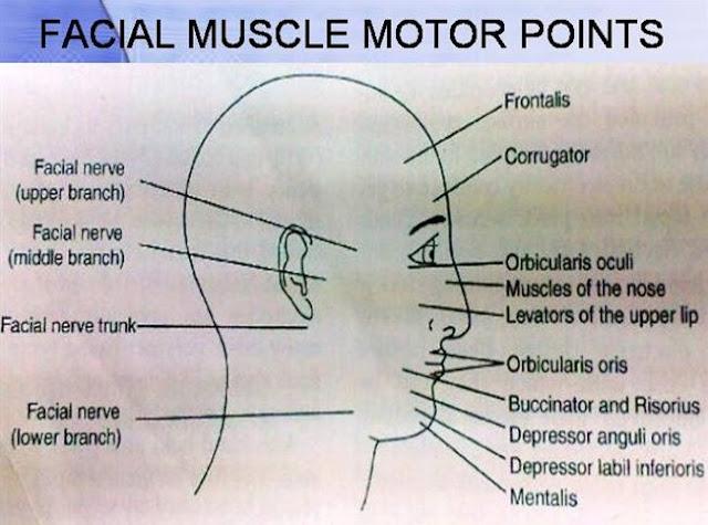titik motor point pada wajah manusia lengkap dan contoh