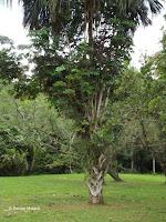 Talipot palm tree - Ho'omaluhia Botanical Garden, Kaneohe, HI