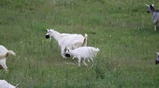 """У Дніпрі кози почепили маски і змусили реготати всю Україну - """"тепер ви бачили все"""""""