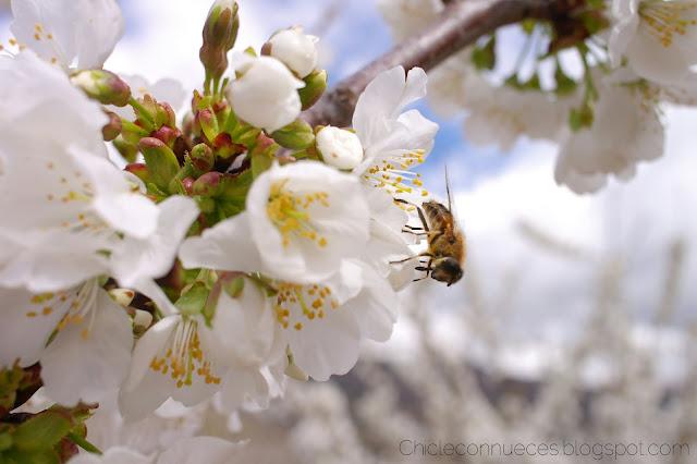 Valle del Jerte floracion cerezos