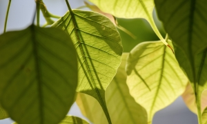 What are the benefits of Peepal  tree ,Sacred fig or Ficus religiosa ? || Powerful Uses Of Peepal Tree For Health And Beauty.