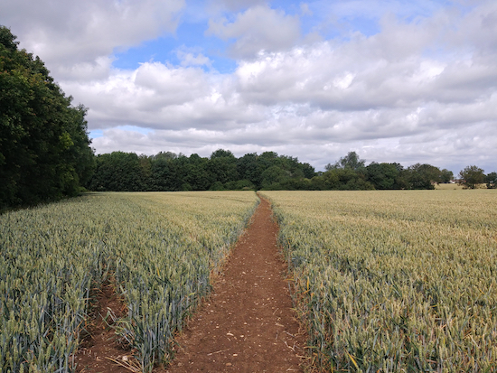 Hunsdon footpath 5 heading through the crops mentioned in point 9 Photograph by Hertfordshire Walker released via Creative Commons