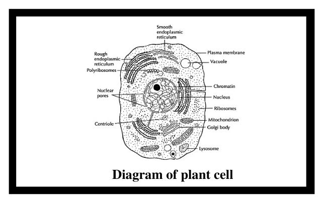 Diagram of animal cell