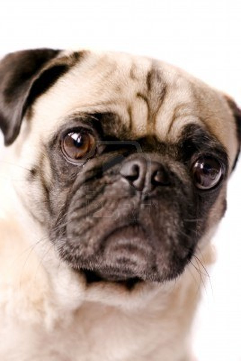 Cute Dogs Pug Dog