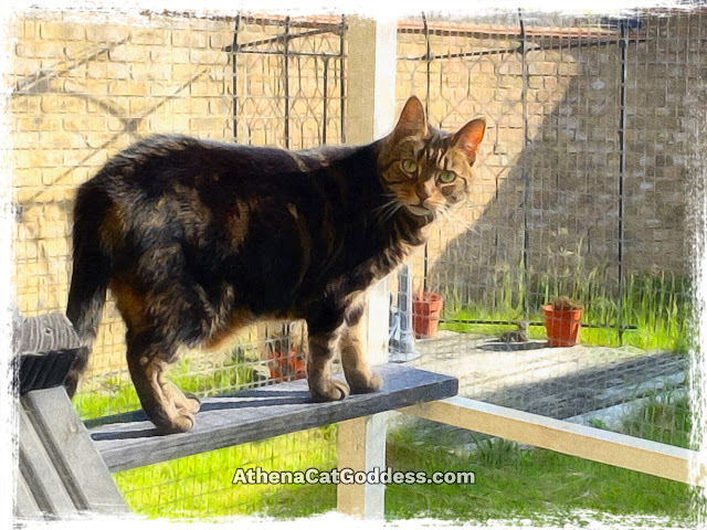tabby cat in the catio