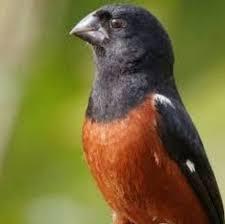 pássaro curió