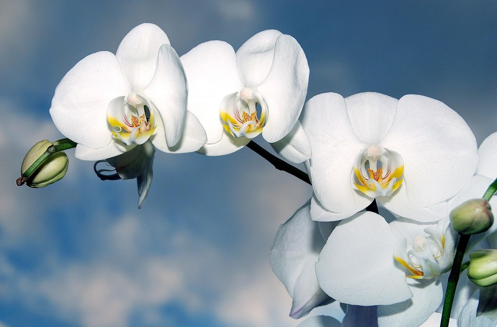 download gambar bunga anggrek gratis