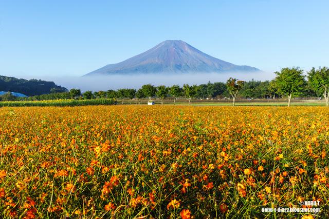 キバナコスモス畑と富士山