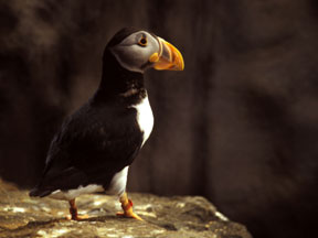 Papagaio-do-Mar-Atlântico (Fratercula arctica)