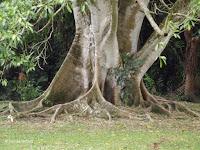 Ficus glabrata tree base - Ho'omaluhia Botanical Garden, Kaneohe, HI