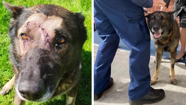 Пес получил пять ножевых ранений в голову и вернулся к службе
