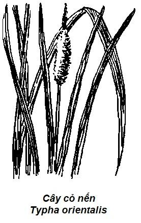 Hình vẽ Cây Cỏ Nến - Typha orientalis - CẦM MÁU