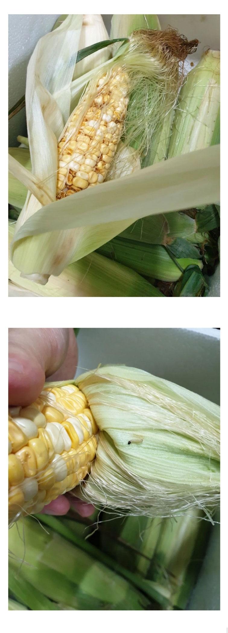 난리난 충주 농가돕기 옥수수 상태 - 꾸르