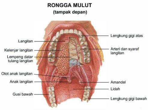 Gambar rongga mulut