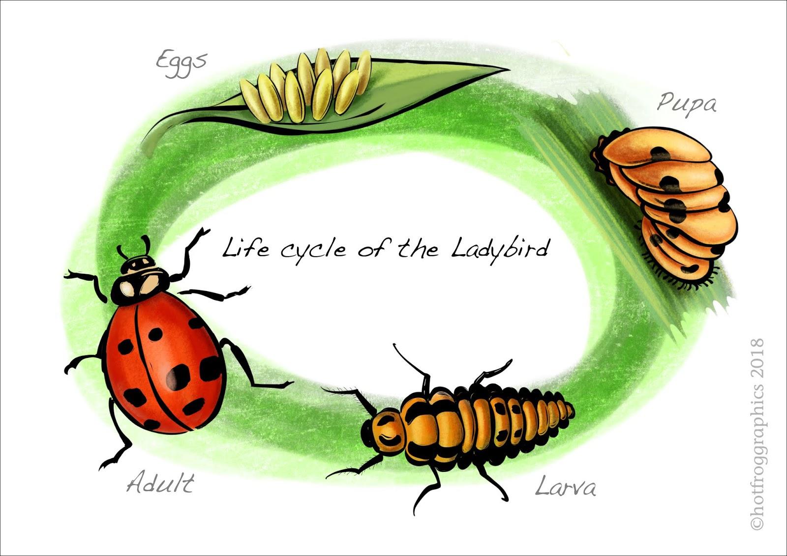 Ladybug Life Cycle Stages
