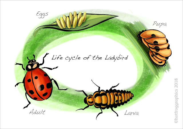 illustration showing stages in ladybird life cycle colour