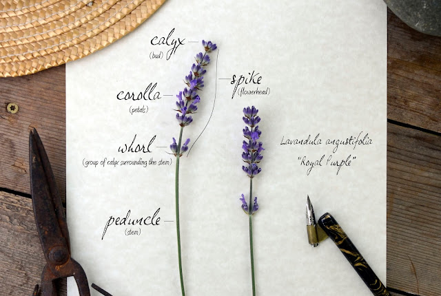The anatomy of lavender flowers