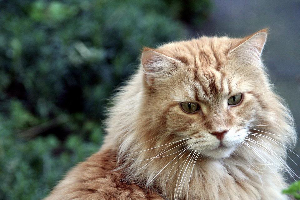 Cara Membedakan Jenis Kucing Berdasarkan Ciri Khusus