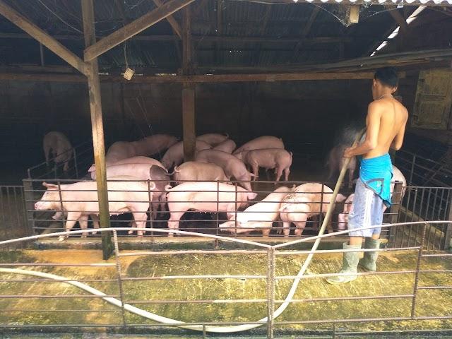 UPT Siborongborong Disiapkan untuk Pengembangan  Indukan Ternak Babi