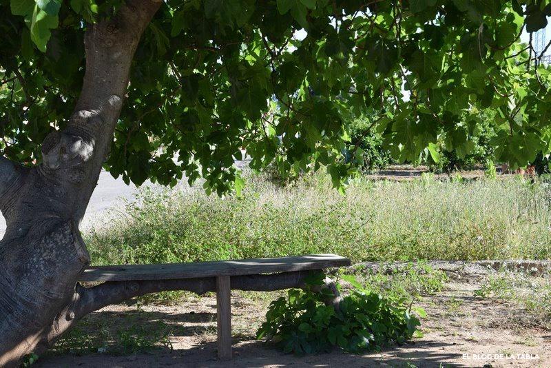 Higuera. Ficus carica