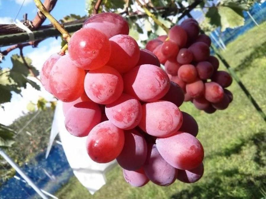 Bibit buah anggur nina queen grafting Palangkaraya