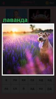 поле лаванды и сидит собака внутри