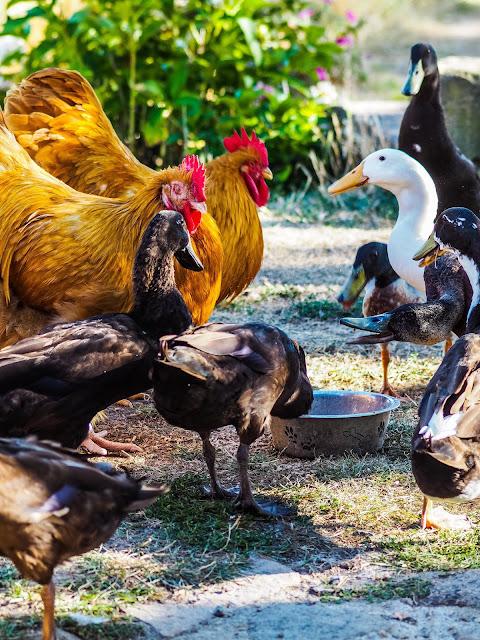 Kippen en Loopeenden