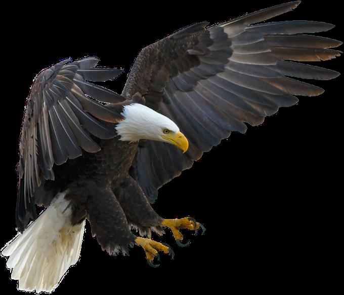American Eagle, Bald Eagle Bird Tawny eagle Golden eagle, eagle, animals, fauna png by: pngkh.com