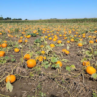 orange pumpkins sit in a field of dirt and some green vines and leaves