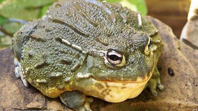 Bullfrog dari Amerika Utara
