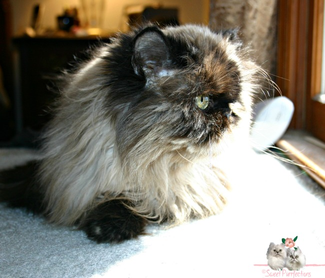 Tortoiseshell Persian, Sweet Praline, looking out window