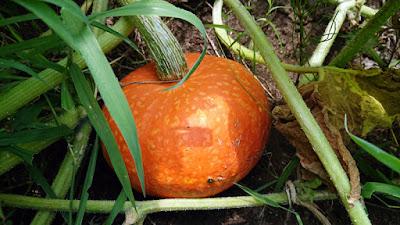 オレンジカボチャの収穫