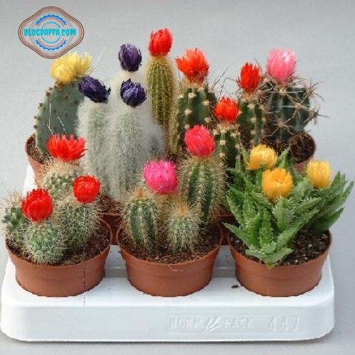 Tanaman hias murah kaktus mini