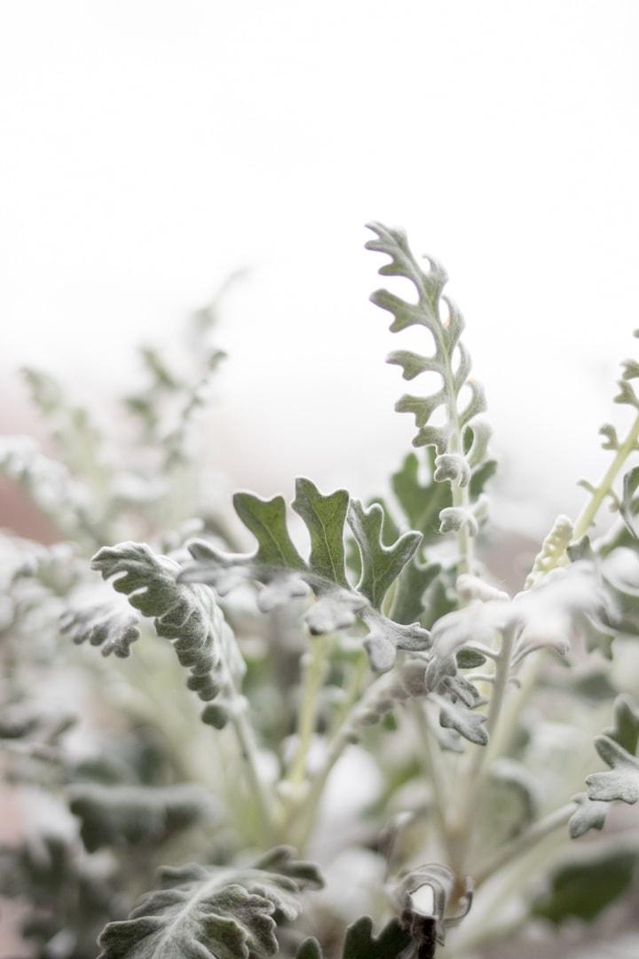 jacobea-maritima-cineraria-gris-blog-oliandmoli-7-plantas-navideñas