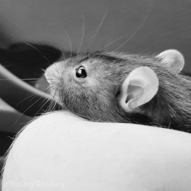 Kingston the rescue rat passes away