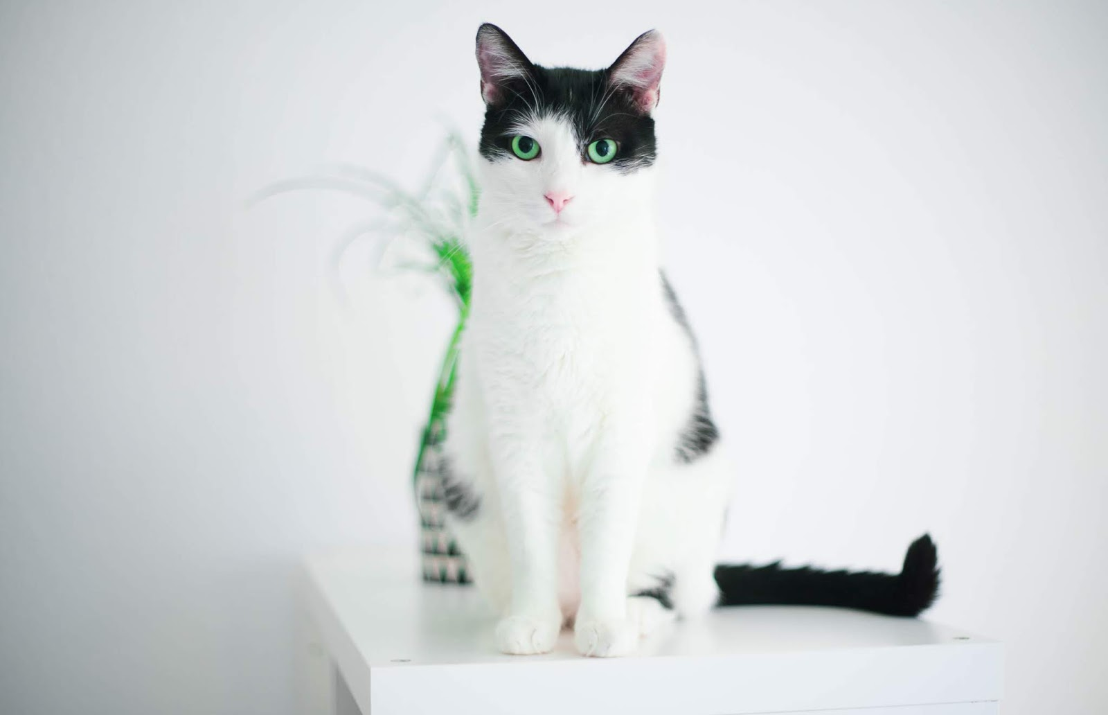 White and black cat on white table,cat images